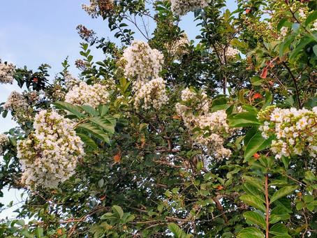 WOW! Crepe Myrtles in Bloom.