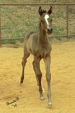 Laila's Colt