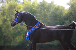 Excellence in Ebony-what a smooth body and topline!