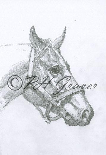 HAF#24 Mares Head Pencil Drawing