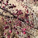 Berries-small.jpg