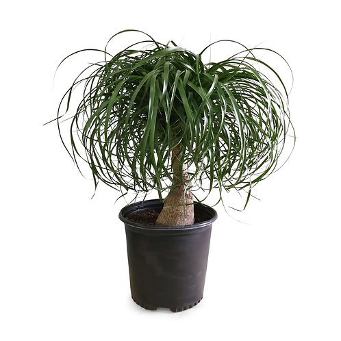 Ponytail Palm, Elephant Foot Tree Vancouver