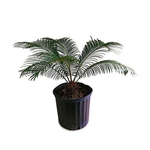 Sago Palm Cycas Revoluta Vancouver