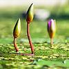 water-lilies-1388690_1280.jpg