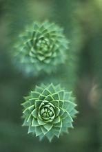 fibonacci spirals plant.jpg