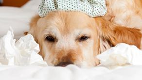 O que você precisa saber sobre a Gripe Canina