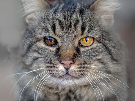 Tratamento para catarata em cães e gatos