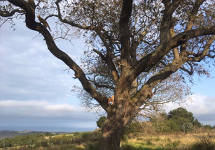 oak tree_edited_edited.jpg