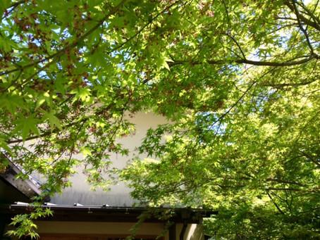 長府の自然 モミジの青葉が美しい季節が始まりました。