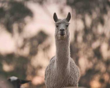 Lenny The Alpaca