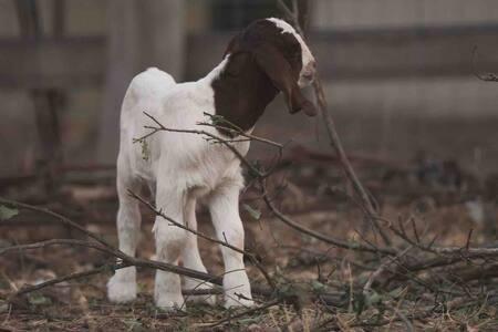 Adorable Baby Boer Goats