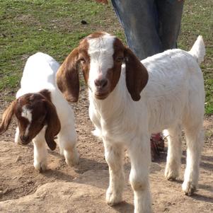 Baby Bor Goats