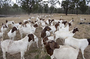 Myrrhee Boer Goats