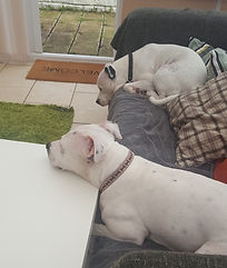 tired out staffies