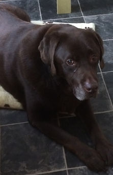 ollie black labrador with petbuddys hull doggy daycare and home boarding services