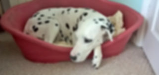 maddie my beloved dalmation