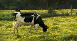 FF-cowspasture-latepm-370x197