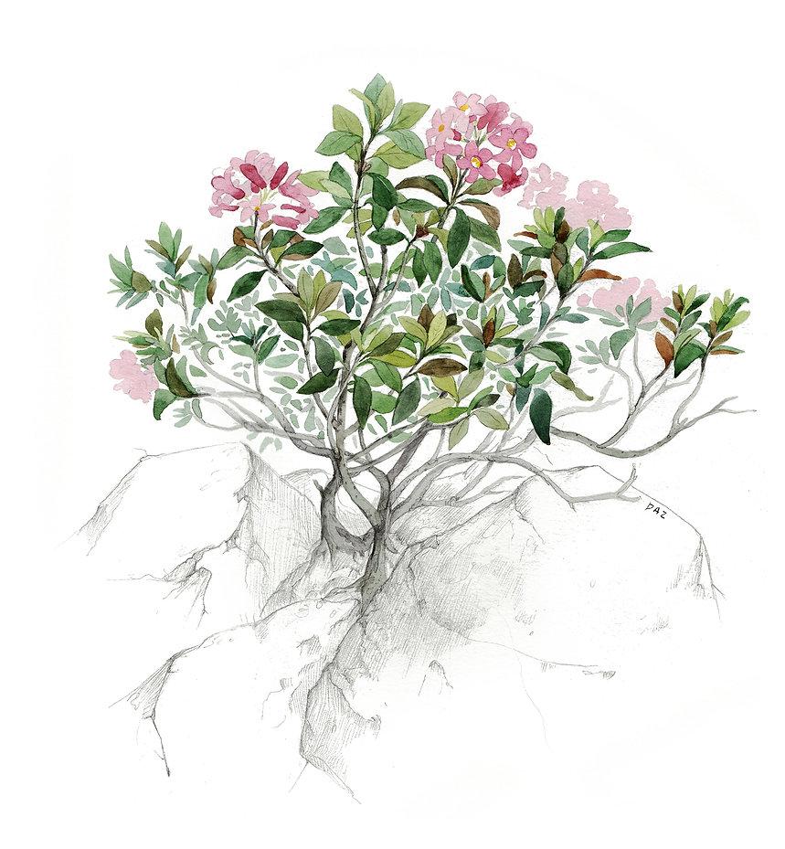 2020.09.30 - rhododendron ferrugineux