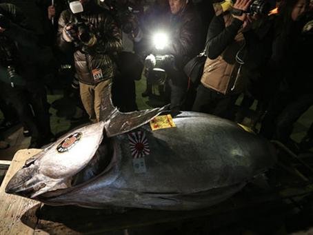 The fisrt 2014 Tuna auction at Tsukiji Market