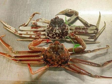 """Very rare """" white"""" crab caught in Japan"""