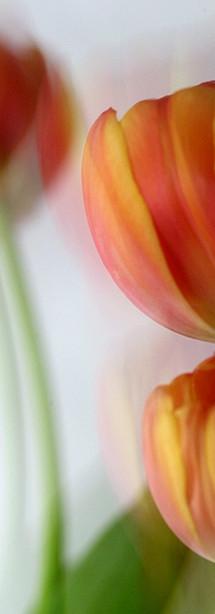 Tulipe_007°.jpg