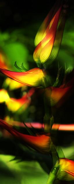 CR-Heliconia latispatha004°.jpg