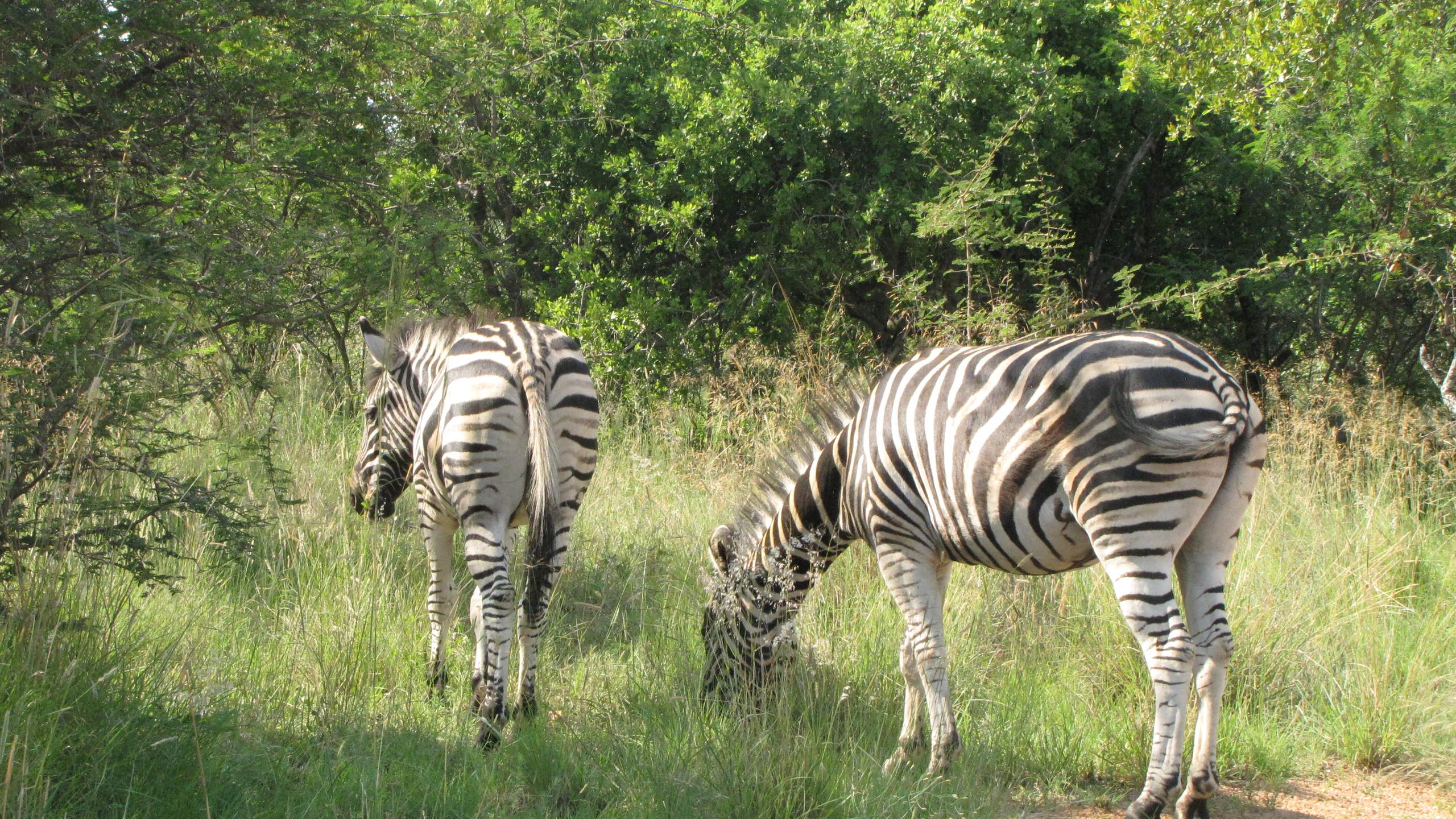 Two zebra grazing