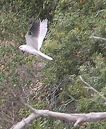 Kite Hawk Photo 9.jpg