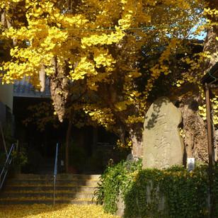 正円寺の大イチョウ