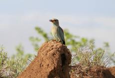 Afrique du Sud, Parc Kruger, rollier