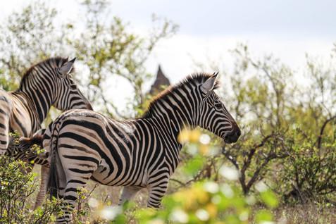 Zèbres, Parc Kruger