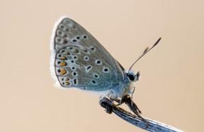 L'Argus bleu