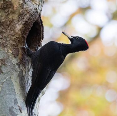 Pic noir (femelle)