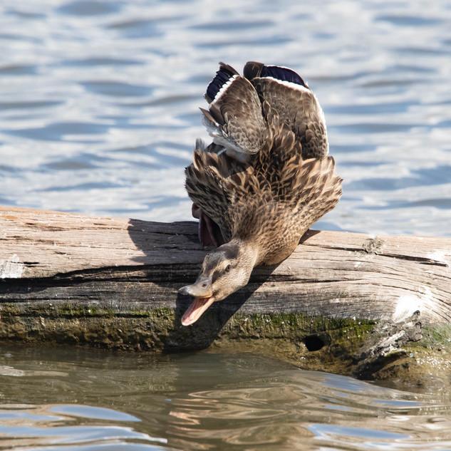 Canard colvert (femelle)