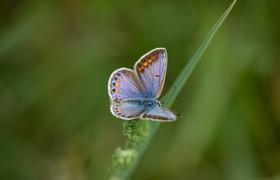 Azuré bleu céleste