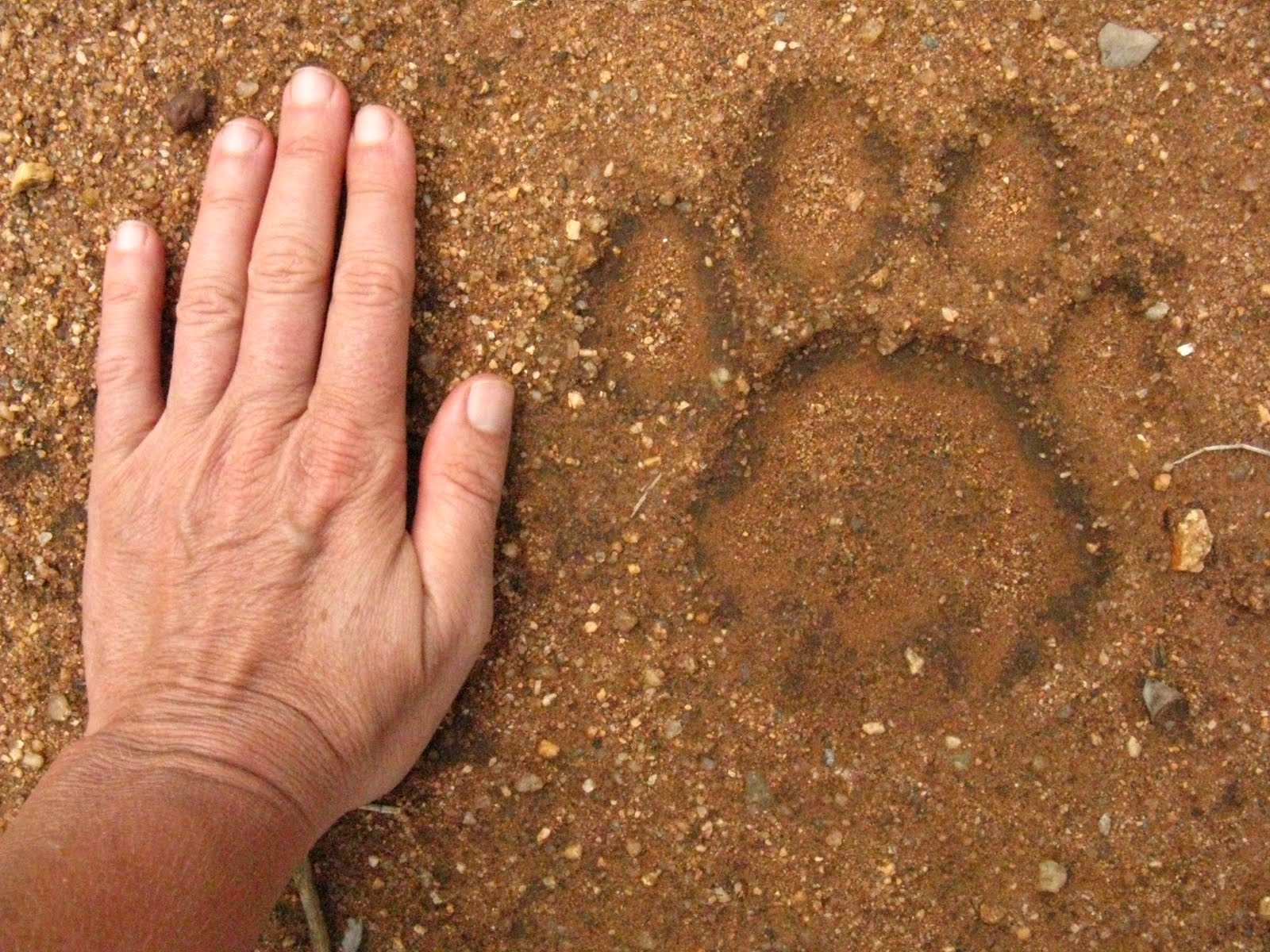 lion-track with hand