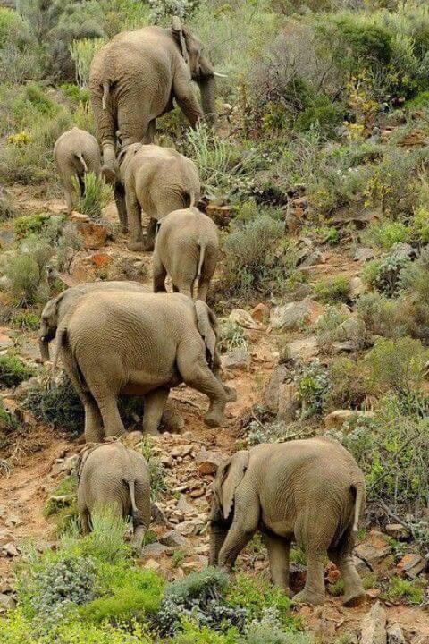 elephants climbing sabache