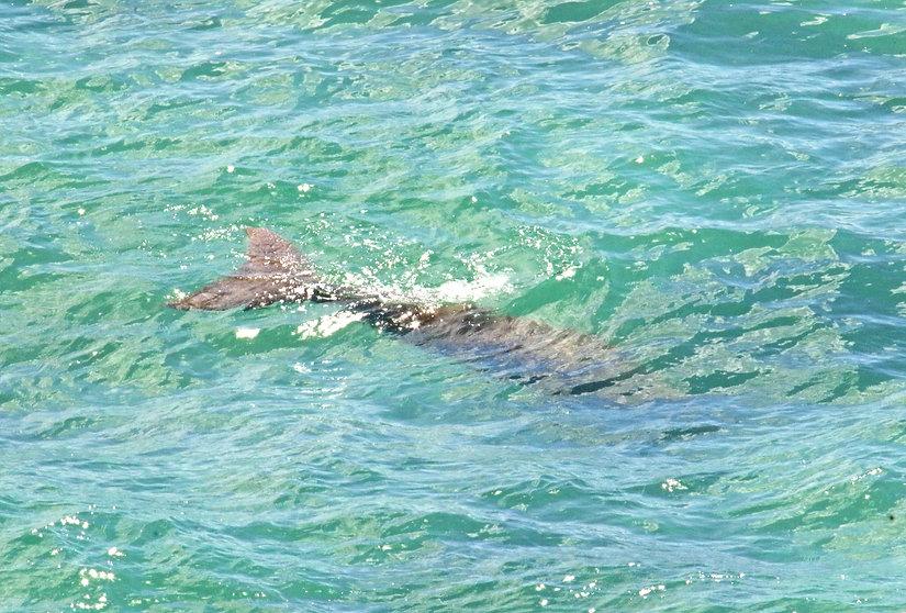 dugong manatee
