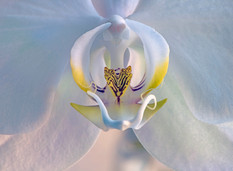 Moth Orchid Detail