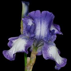Bearded Iris 742, Stacked