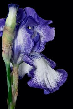 Bearded Iris 719 Stacked