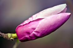 Tulip Magnolia 1159