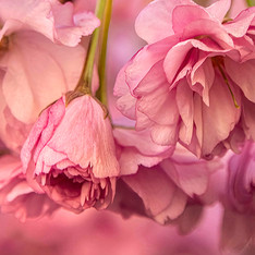 Cherry Blossoms 666b_1134