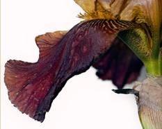 Bearded Iris 802, Stacked