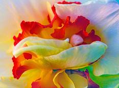 Daffodil 0159