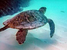 Giant Turtle, The Maldives