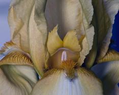 Bearded Iris 703, Stacked