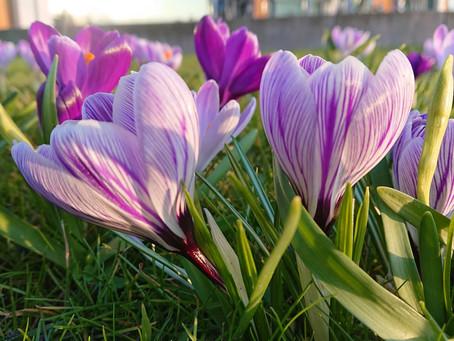 Bloeiende voorjaarsbollen betekent naderende lente!