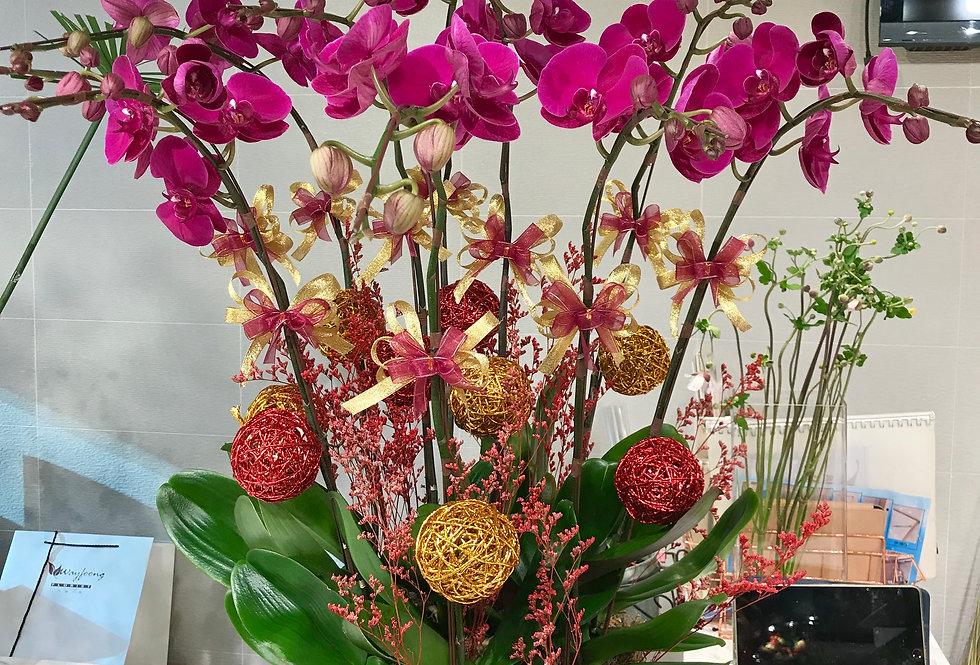 10菖台灣紅花蝴蝶蘭盆