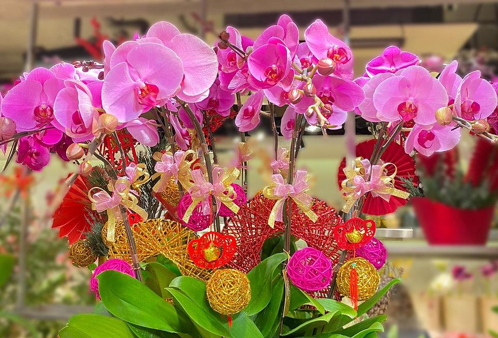 12菖台灣粉花蝴蝶蘭